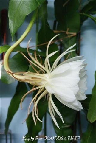 Album - Epiphyllum