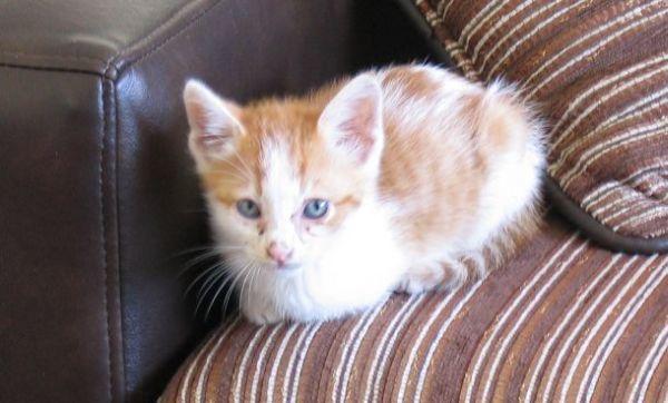 Le petit chaton recueilli dans les poubelles et vite habitué à une vie de luxe et de croquettes à volonté...
