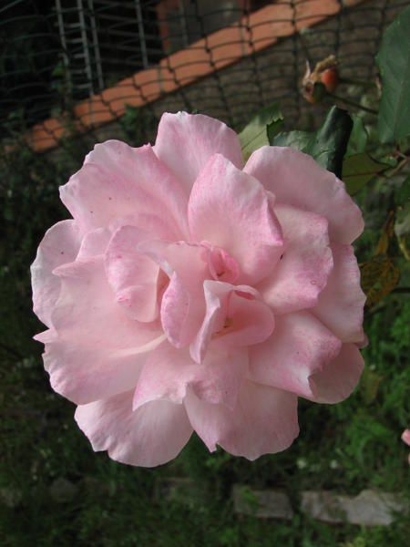 Album - Photos des fleurs du jardin