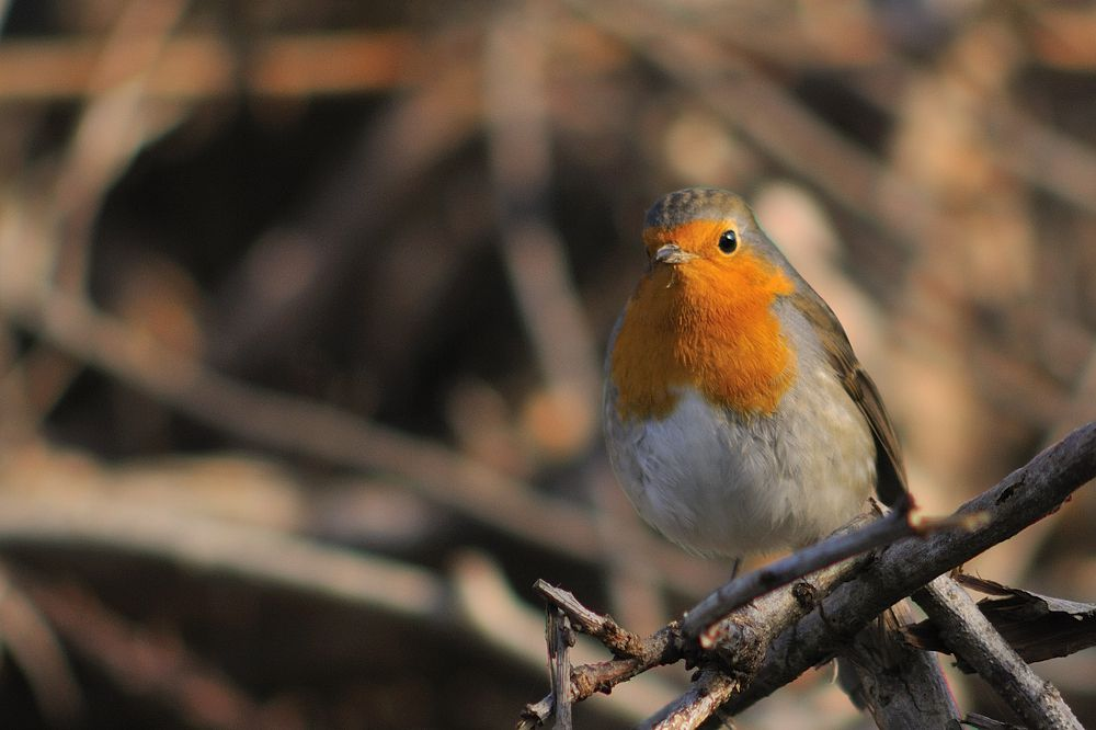 Album - Les oiseaux des jardins