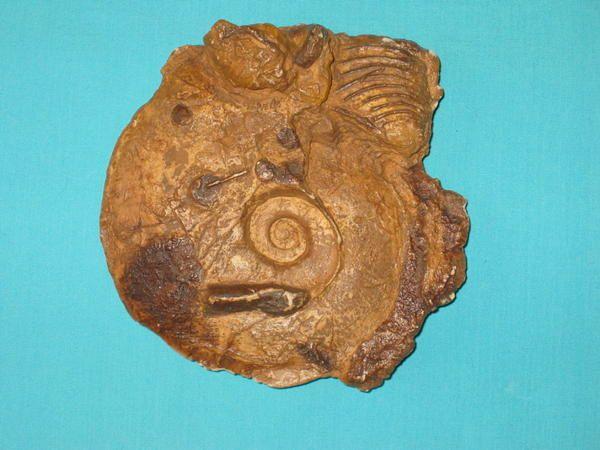 Album - fossiles-de-ringsheim