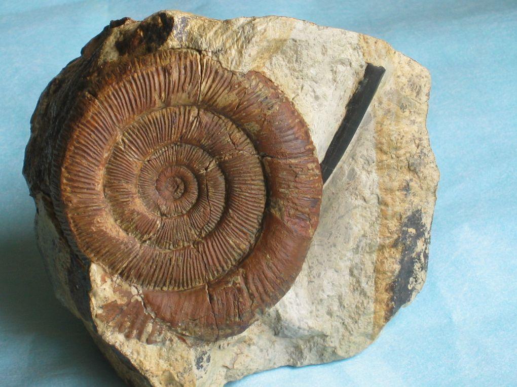 Album - fossiles-du-carixien