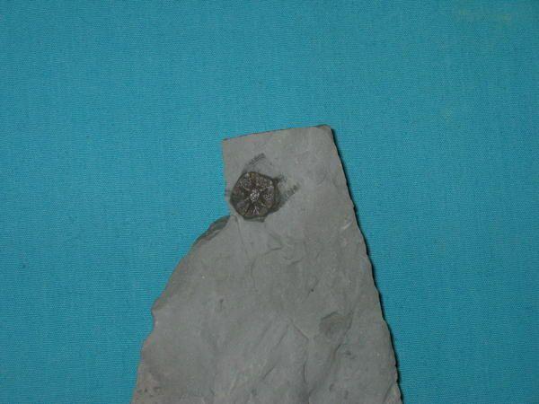 Album - fossiles-du-muschelkalk-lorrain