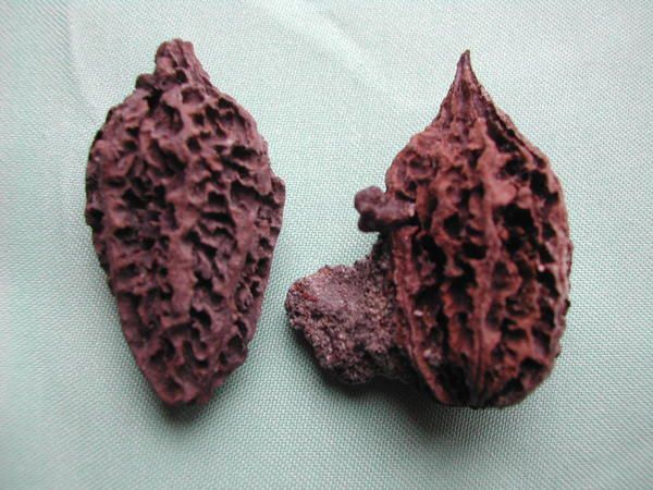 Album - fossiles-mio-pliocene-du-bas-rhin