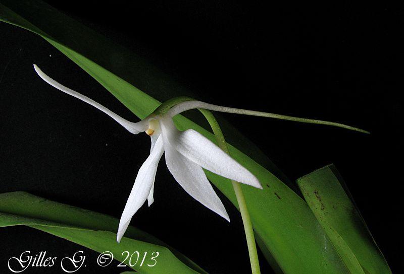 D'autres orchidées africaines ou des Mascareignes en plus de mes Aerangis.