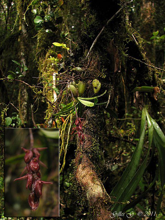 Album - Madagascar 2011: Orchidees-2eme-partie
