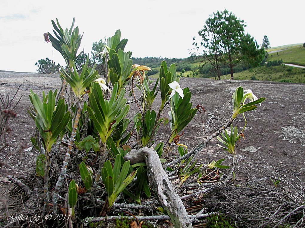 Album - Madagascar 2011: Orchidees