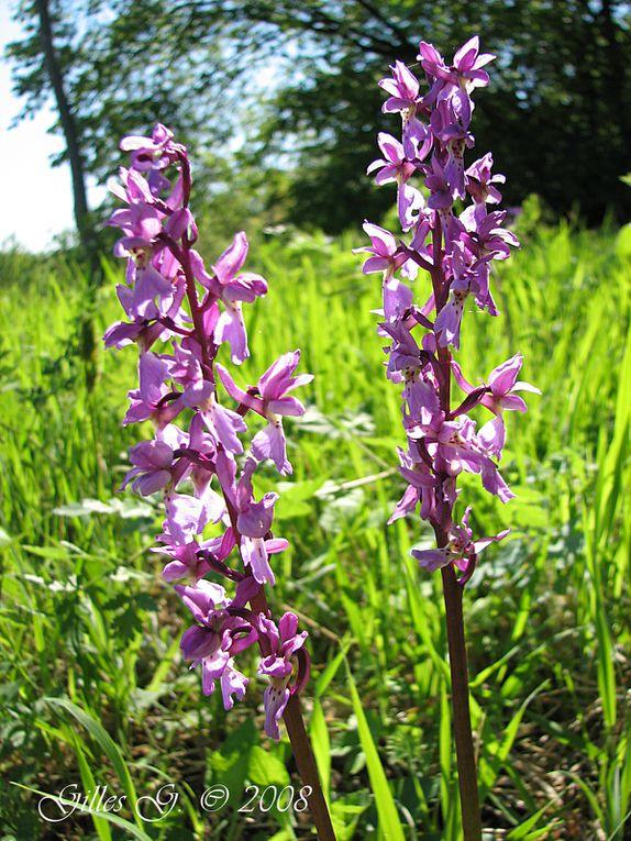 Orchidées sauvages trouvées en Alsace.