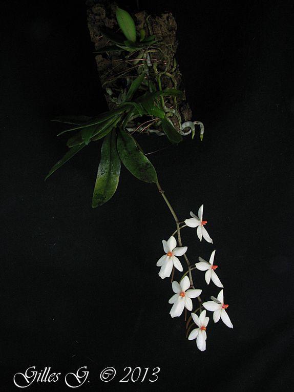 Mes Aerangis, botaniques et hybrides primaires