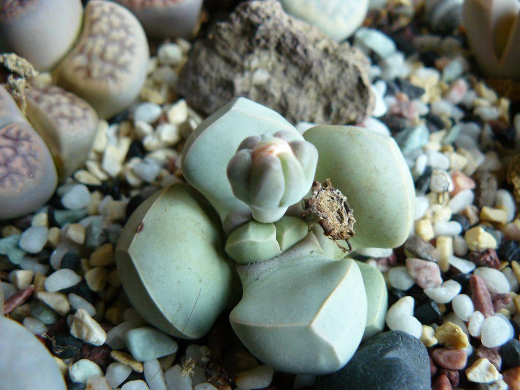 plantes cailloux, lithops, conophytum, argyroderma, pleiospilos nellii, joyaux du desert