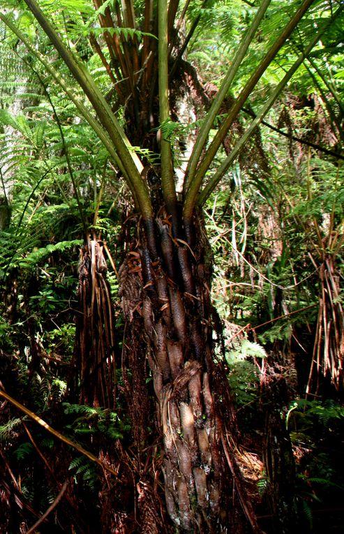 Depuis le gîte de Bélouve , balade jusqu'au Trou de Fer en traversant la forêt primaire de Bélouve
