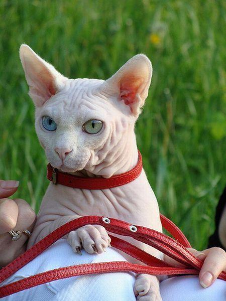 A quoi ressemble un chat sans ses poils. C'est la réponse que vous allez trouver en regardant les photos suivantes. A noter que les chats n'ont pas le même charme sans leurs poils.