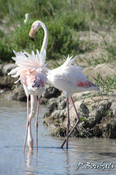 Oiseaux observés en balade, à partir de fin janvier 2009 (avant voir Nature)