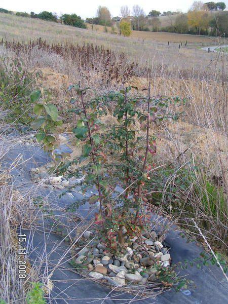 haie plantée en novembre 2007preparation du terrain avec un sous solage a 50/60 cm puis affinage de la terre avant la pose  mécanisée d une bache