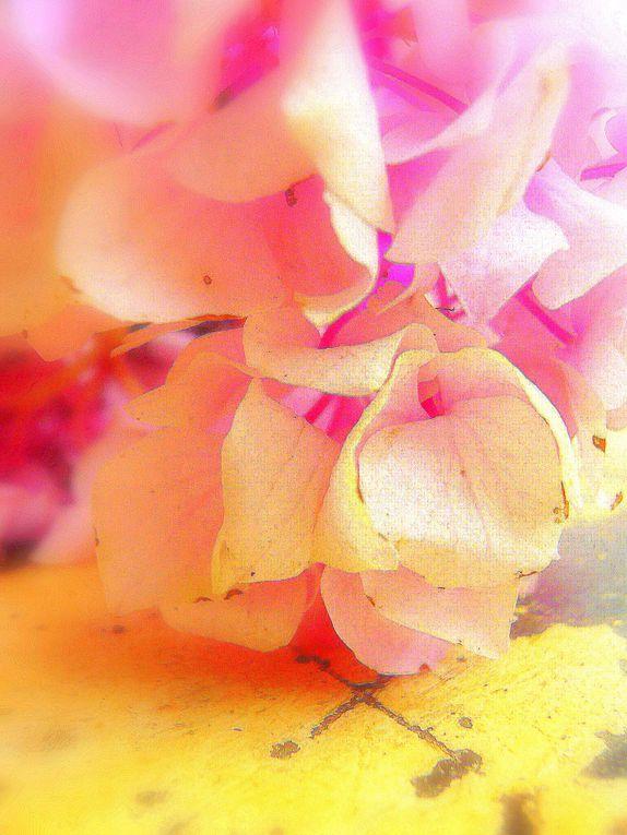 Clichés d'hortensias du jardin...2009