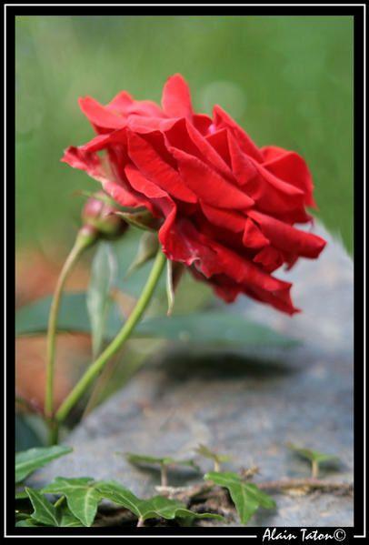Album - Roses-de-mon-jardin