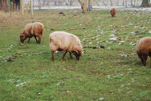 """L'hiver n'est pas un problème pour les moutons """"shetland"""""""