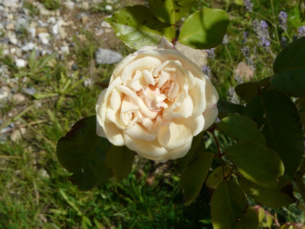 mes fleurs a Chassagny