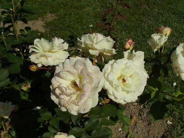 Album - mes fleurs