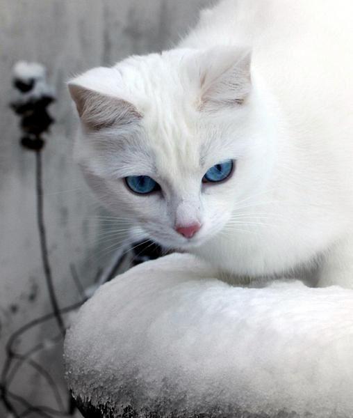 Petite chatte blanche aux yeux bleus