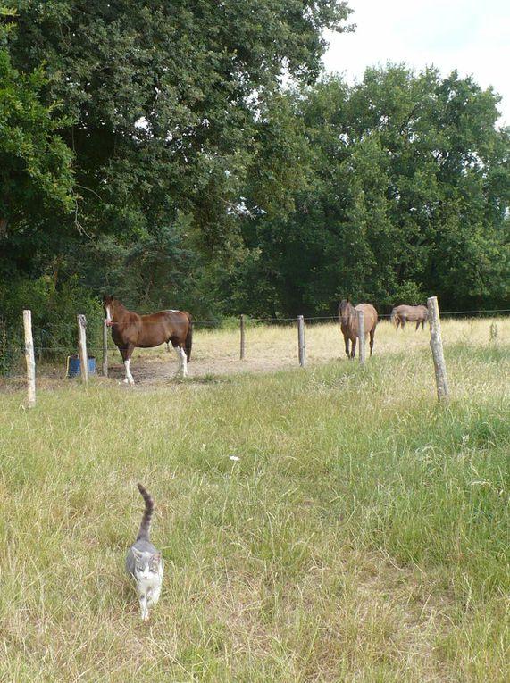 un cheval et des chats en photo, des chevaux qui cohabitent avec d'autres animaux, photo de cheval au pré, à l'écurie, au travail... Un cheval alezan pie aux quatre balzanes, une petite chatte grise, une tigrée, des chiens...