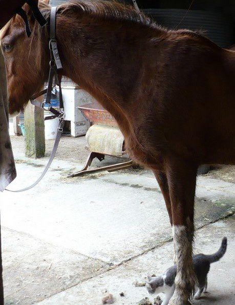 Un cheval alezan pie aux quatre balzanes, et les chats des écuries.. Photos des chevaux et des chats au pré, à l'écurie, au travail, un chat sur le dos d'un cheval...