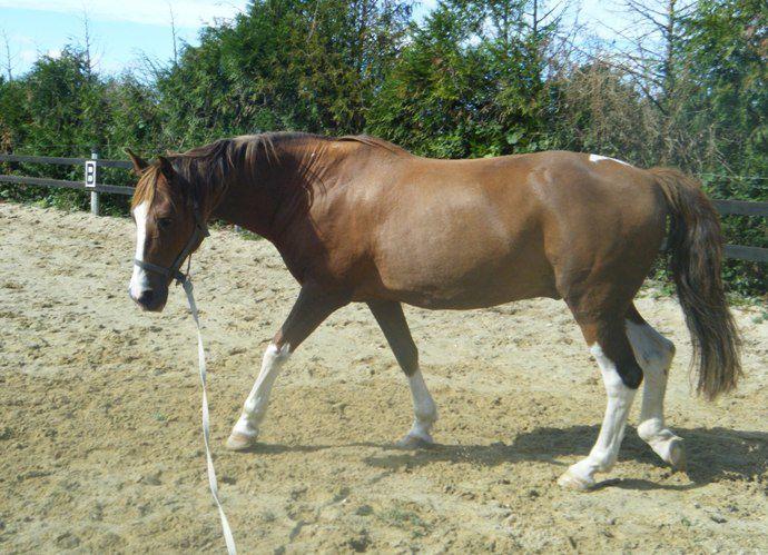 travail du cheval à pied, en longe, en liberté...Saut d'obstacle en liberté, séance d'éthologie, travail du cheval en longe virtuelle...