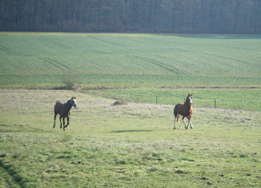 Des chevaux au pré dans la neige....cheval au galop dans la neige, chevaux et gel, poulain, cheval galop au pré