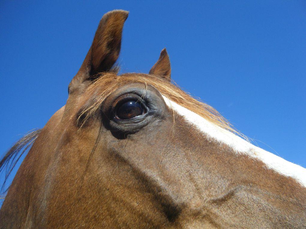 des chevaux au pré, galop, poulain, printemps, photo cheval pé, cheval qui se roule, cheval assis, cheval et poulain couché...
