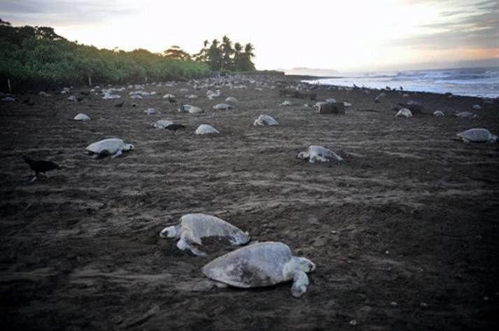 Les tortues de mer sont en voie d'extinction au Costa Rica. Elles sont tuées pour être consommées et les oeufs sont ramassés de manière intensive.