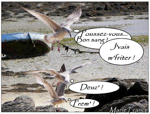Des photos de goélands en vol et au sol