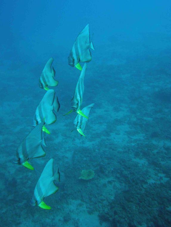 poissons coffres, perroquets, flutes, platax, barracudas,...