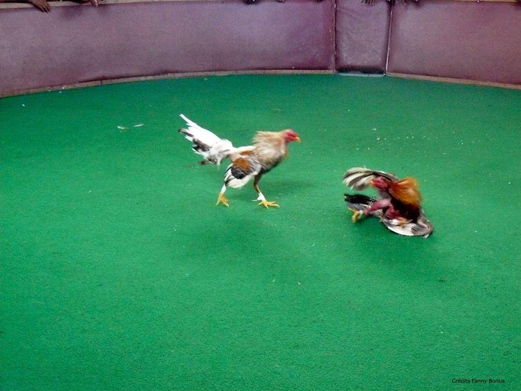 En Martinique, les combats de coqs sont une véritable tradition. On mise sur un coq comme on mise sur un cheval.Diaporama sonore à cette adresse : http://fannyborius.over-blog.com/article-31073709.html