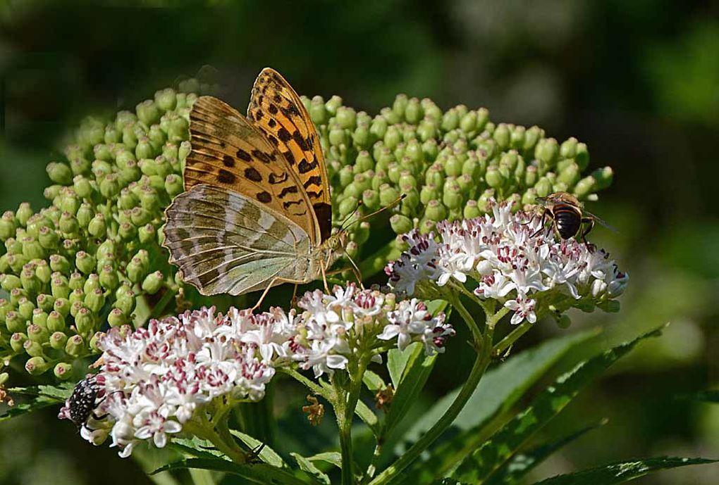 Album - Insectes-papillons--4