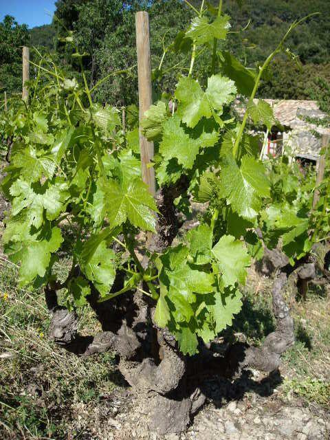 Vignes de Derriere le Chateau, Séguret, a la mi-mai 2009.