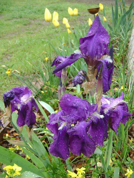 Des fleurs sous les gouttes où la pluie imbellie la fleur