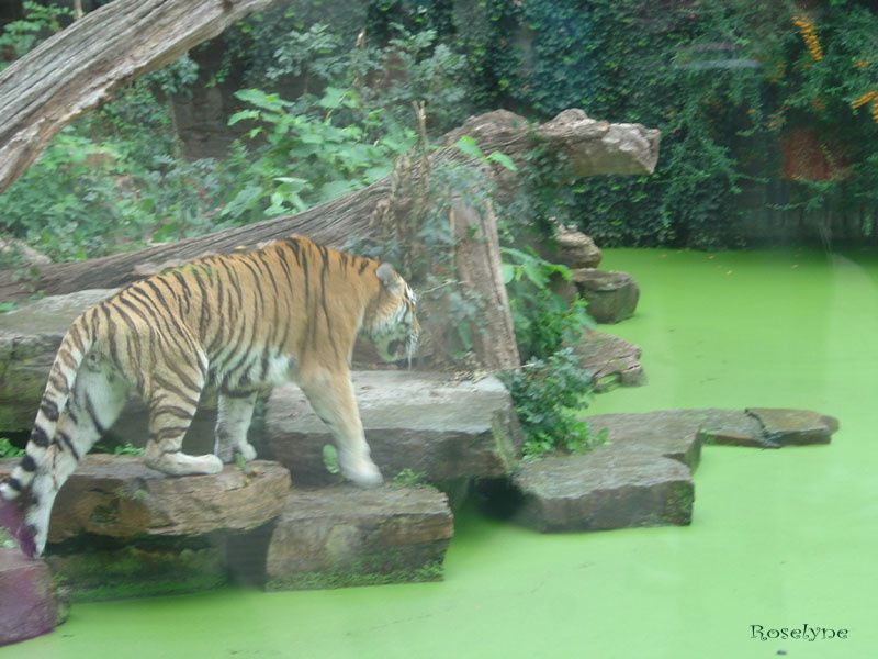 Album - Tigres