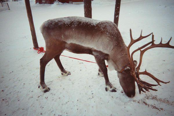 photos de voyages, Laponie finlandaise. Paysages enneigés. Rennes.