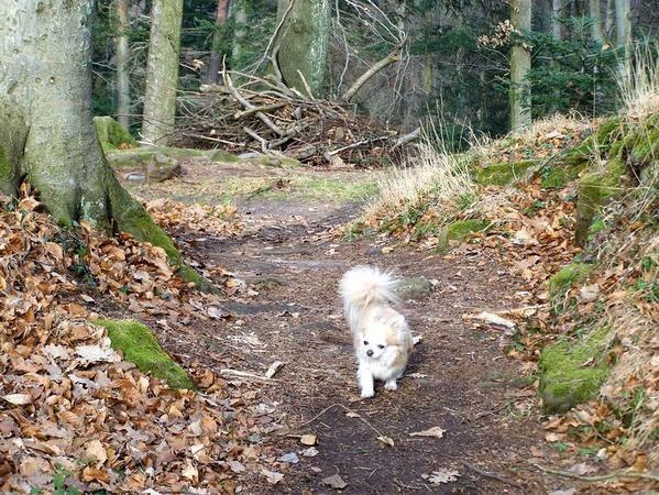 Chihuahua mâle né le 5 janvier 2001.