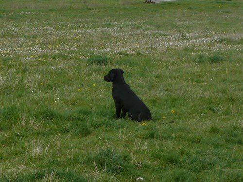 Kik E'Terre d'Ermes, labrador mâle pur lignée de travail