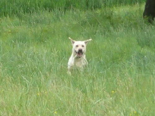 Utah labrador mâle