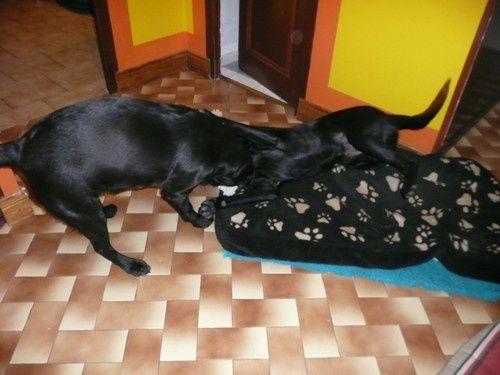 Mes 3 labradors : utah chanel et ermes