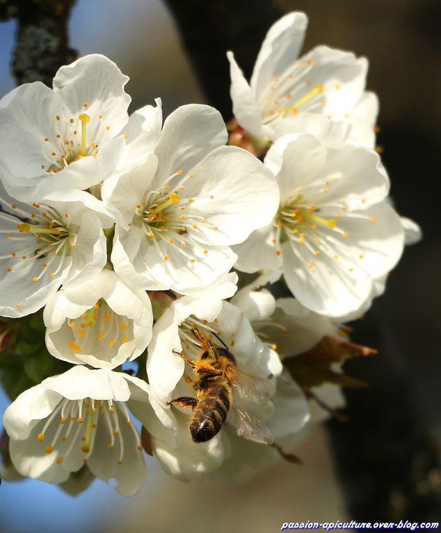 Album - Abeilles-et-cerisiers
