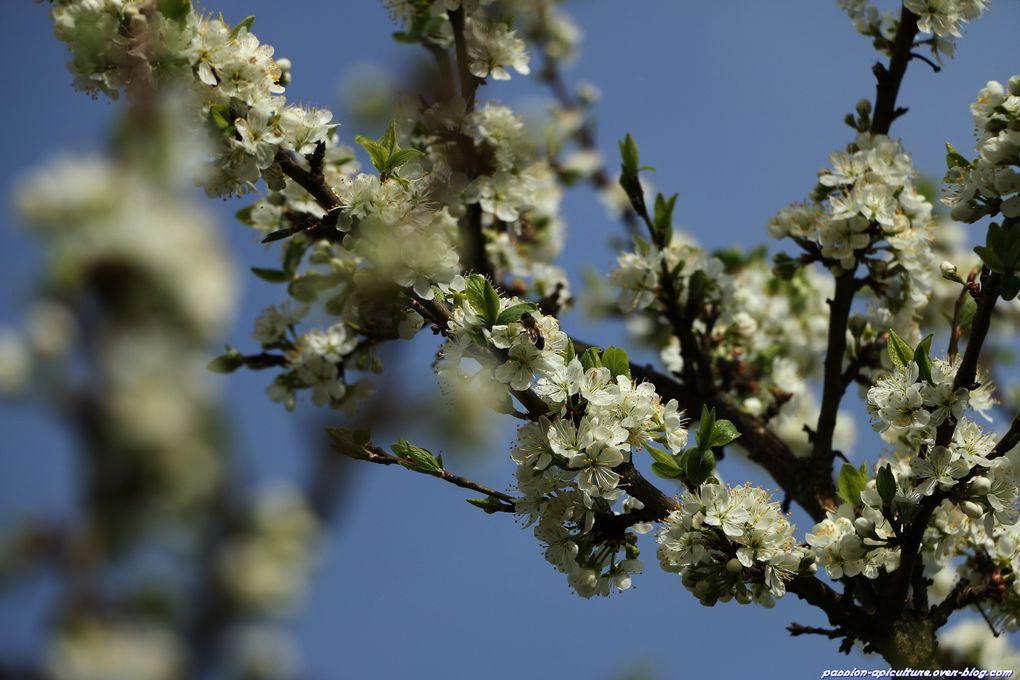 Mirabellier-en-fleurs