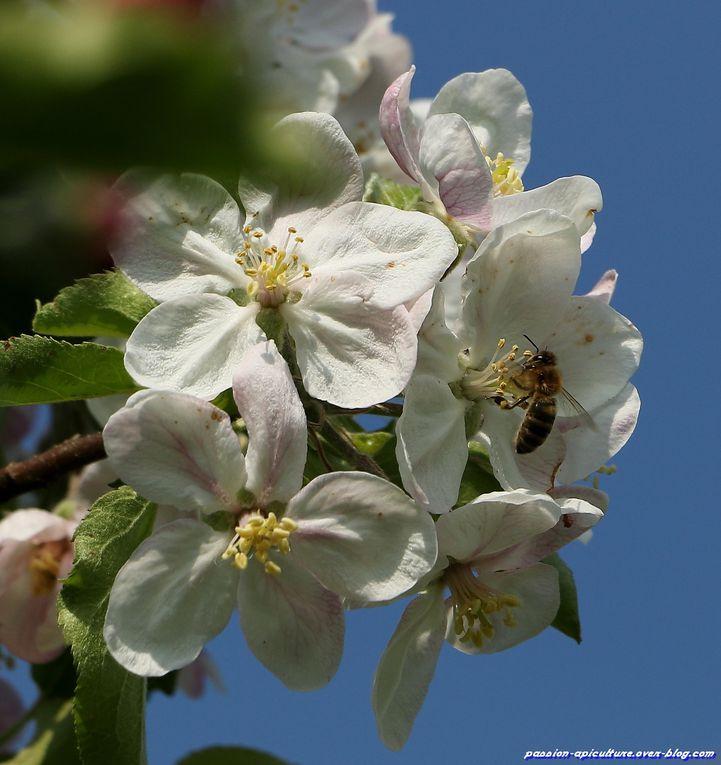 Pommier-en-fleurs-et-abeilles