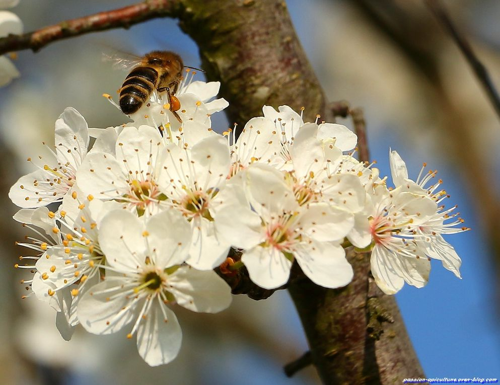 Album - Prunellier-et-abeilles
