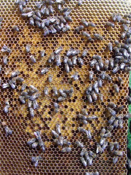 Cadres avec couvain et miel