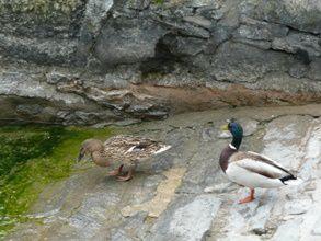 Hermance au bord du Lac Léman.Les canards flottent.