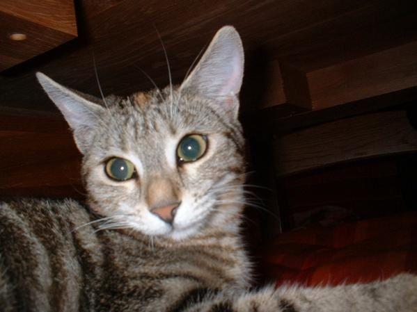 Ma petite Tigrée née le 1er Avril 2007. Un amour de chat qui a du mal avec les nouvelles co-loc :)DECEDEE le 09/07/2011 renverseé par une voiture devant chez elle :( Tu vas tellement nous manquer........
