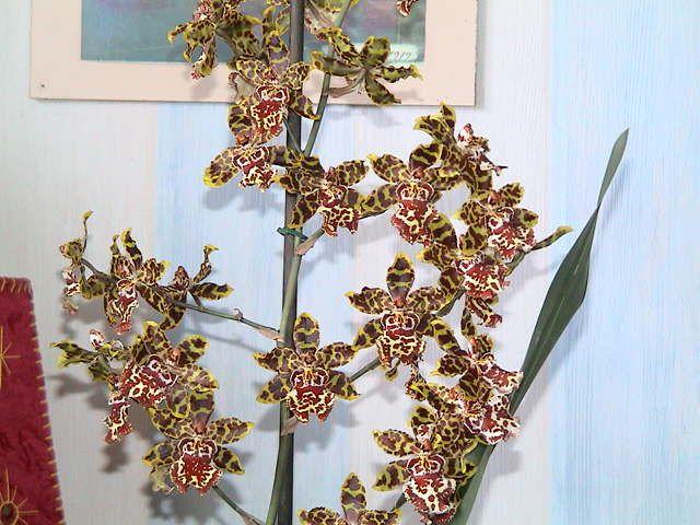 Album - Orchidees